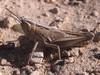 Eritettix simplex, 5th instar