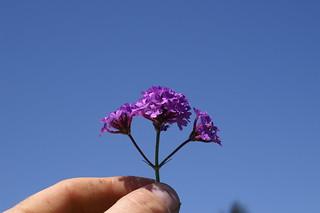 Verbena rigida flowerhead6
