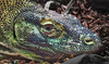 Another Komodo Dragon