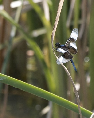 Widow Skimmer Dragonfly