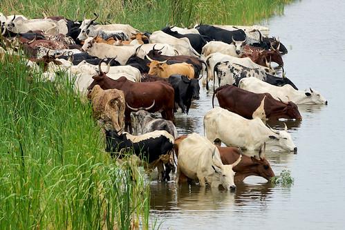 africa water cow cattle african drinking ghana horn herd paulinuk99999 sal70400g dawhenya