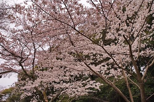 【写真】2013 桜 : 哲学の道/2018-12-24/IMGP9195