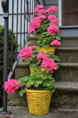 pink geranium stack