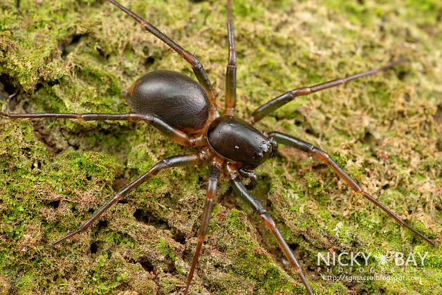 Ground Spider (Zodariidae) - DSC_0873