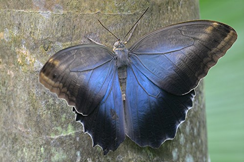 Caligo oileus... wondrous range of blues, golden browns and black by jungle mama