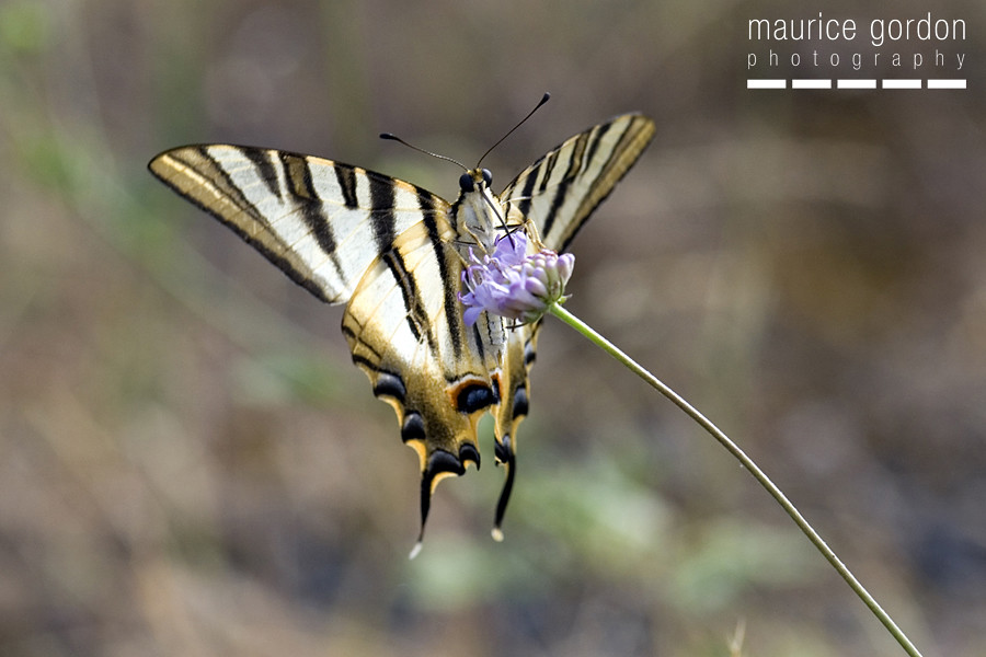 scarce swallowtail-ceret_DSC4693