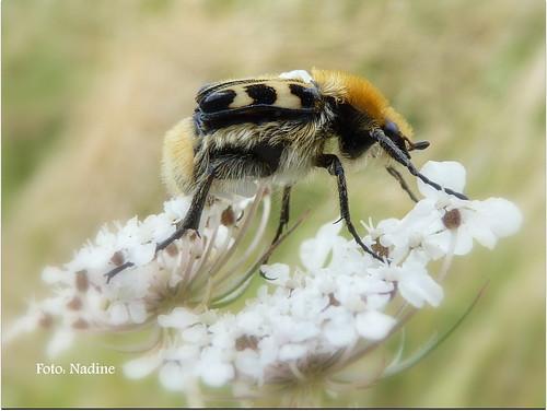 Busy Bee Beetle (Explore)