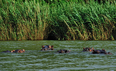 hippos in the water partly submerged typical day time behaviour