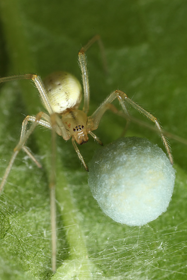 American house spider egg sac - photo#17