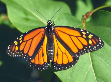 monarch_butterfly2W