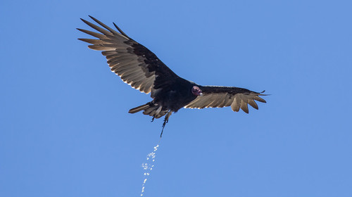 Turkey Vulture pooping!