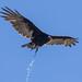 Turkey Vulture pooping!