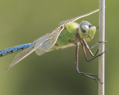 Common Green Darner - 2