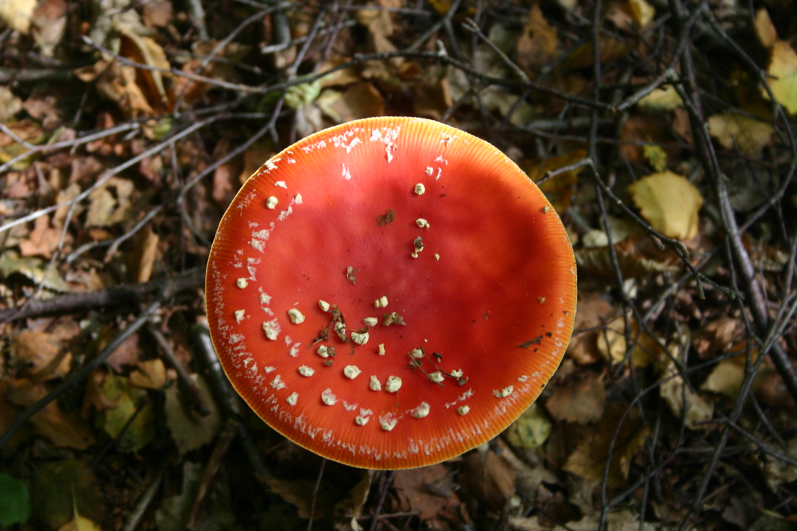 SWC 185 October 6th 2013 Fly Agaric from above