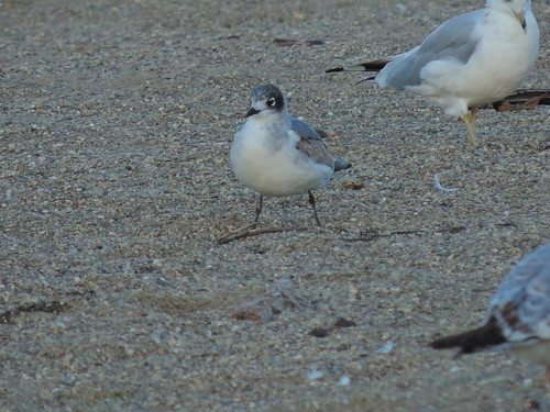 Franklin's Gull, East Fork 10/20/2013
