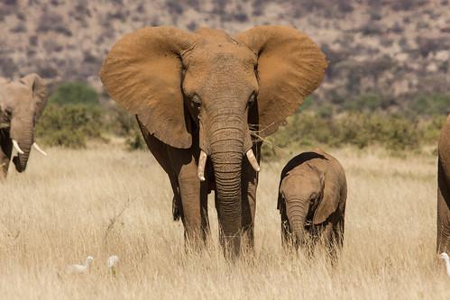 野生的非洲象瀕臨滅絕。(來源:Peter Steward)
