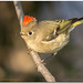 Ruby Crowned Kinglet by Conrad Tan