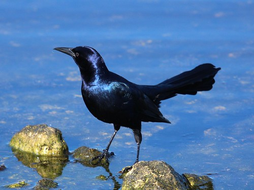 boat tailed grackle_7047