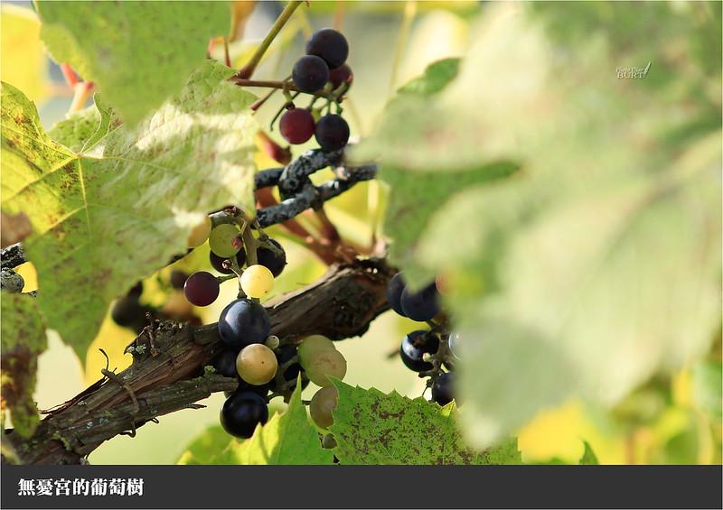 無憂宮的葡萄樹