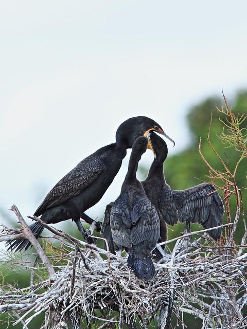 Double-crested Cormorant feeding chicks 07-20131210