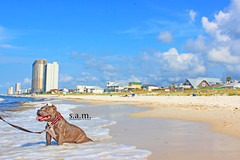 American Bully Female at the beach