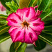 Small photo of Striking Adenium