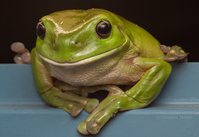 Green Tree Frog #2