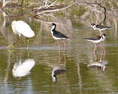 wetland, animal, fauna, stilt, shorebird, bird, wildlife,