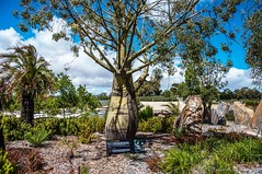 Bottle Tree, Cranbourne Botanical Gardens