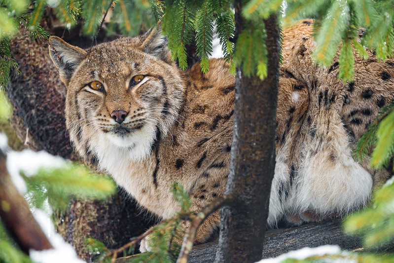 Female lynx in the tree