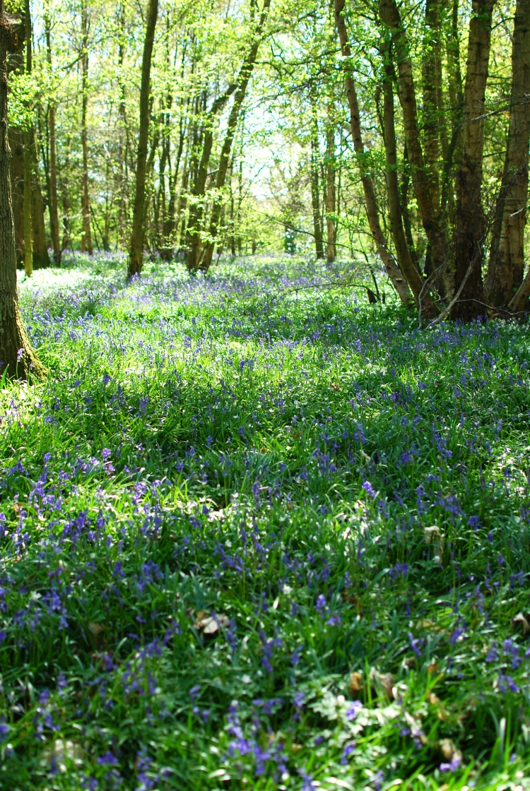 chambray and curls Springtime Bluebell Wood Arlington
