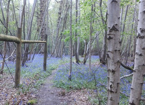 Bluebell woods with silver birch
