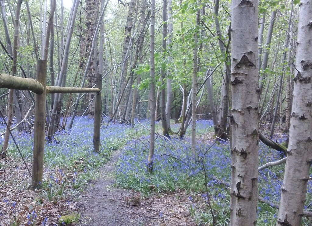 Bluebell woods with silver birch along Greensand Way