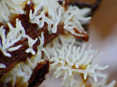 White Coral Slime Mold (Ceratiomyxa fruticulosa) found under bark