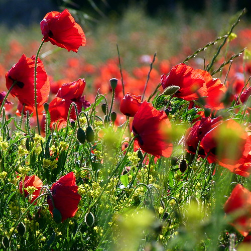 flowers light france nature fleurs lumière country poppies campagne coquelicots