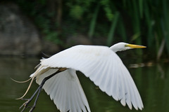 Egret at Morningside Pond