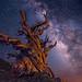 Bristlecone Pine by Wayne Pinkston