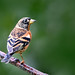 Brambling 287/366 Challenge by After-the-Rain