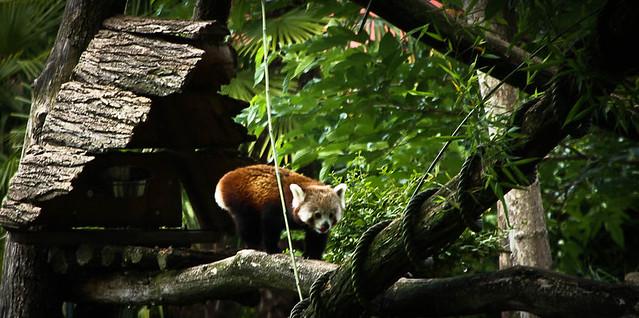 Little panda 1