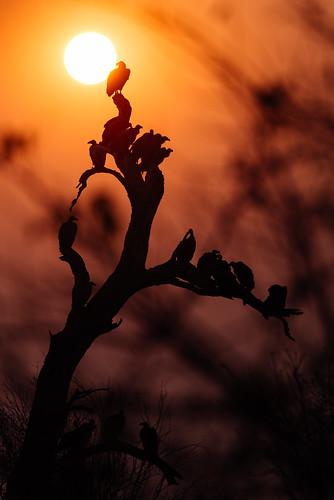 africa bird botswana hoodedvulture safari sunrise tree wilderness