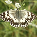 Balkan Marbled White (copyright Toby Abrehart)