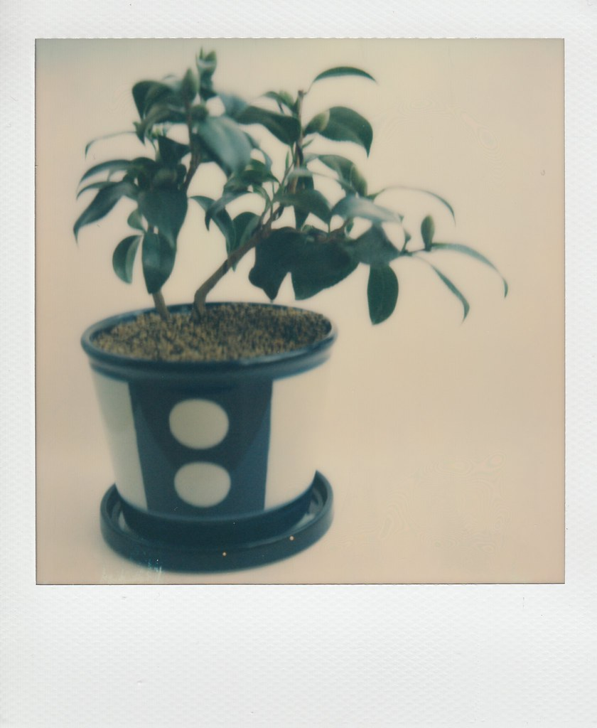 Bonsai: Camellia japonica