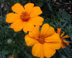 calendula(0.0), eschscholzia californica(0.0), yellow(0.0), annual plant(1.0), flower(1.0), herb(1.0), wildflower(1.0), flora(1.0), sulfur cosmos(1.0), petal(1.0),