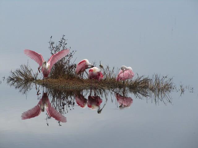 Espátulas rosadas en el refugio nacional de vida silvestre de la isla Merritt