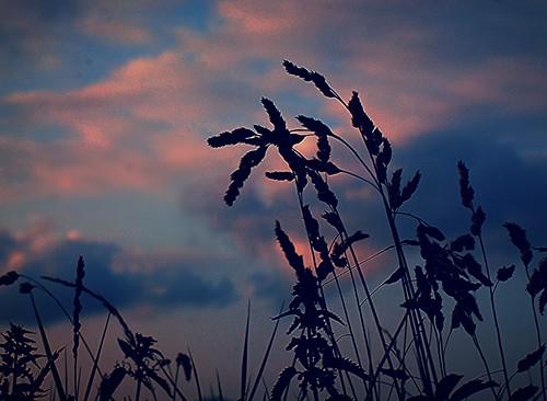 Roadside Grass at Evening