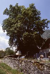 Tilleul commun (Tilia ×europaea L., Tiliacée)