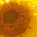 As Bright as a Vancouver Sunflower.. by cogdogblog