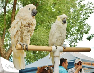 Cockatoos at CO Brewer's Rendezvous