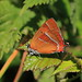 Brown Hairstreak by Yogibear44