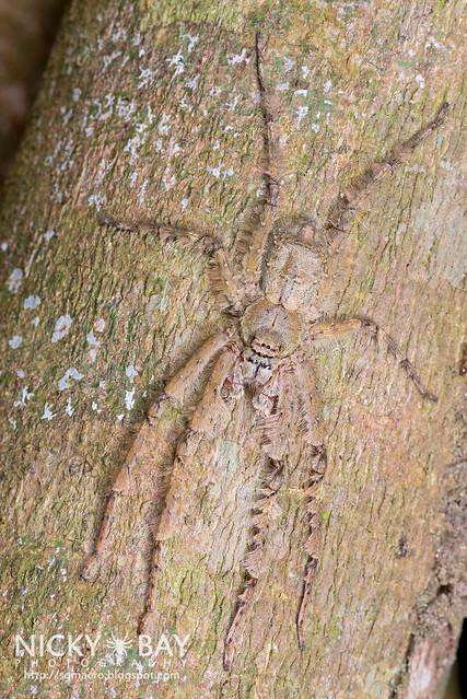 Huntsman Spider (Pandercetes sp.) - DSC_1781